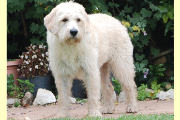 labradoodle dam maple
