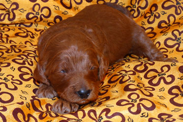 labradoodle puppy olive